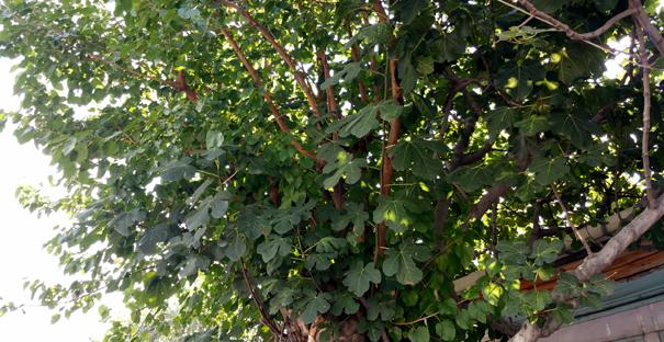 Bir ağaç gövdesinde 2 farklı meyve