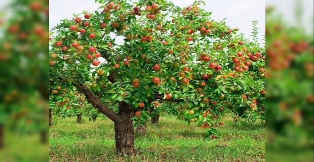 Elma ağacından düştü