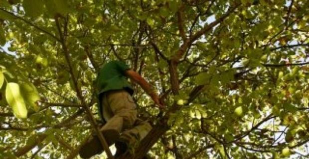 Ceviz ağacından düştü