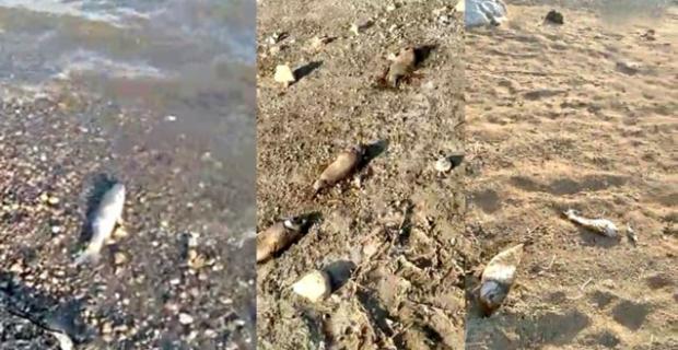 Kargı Hes Barajı'nda yüzlerce balık kıyıya vurdu