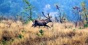 Kızıl geyik avlama kotası için ihale açıldı