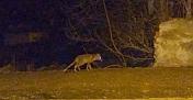 Ormanda aç kalan tilki Kargı'ya indi